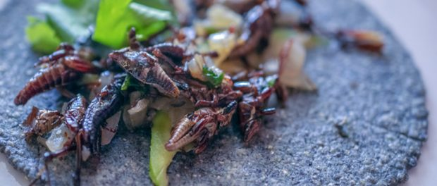 Edible Insects, Chapulines, Taco, Restaurant Cien Años, Chef Jose Sparza, Tijuana, Baja California, Mexico